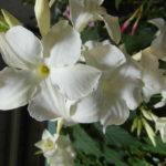 Mandaville Laxa CloseUp 1 MandyPlants.com