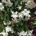 Mandaville Laxa Plant 3 MandyPlants.com