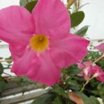 Mandaville Sanderii Pink CloseUp 6314 MandyPlants.com