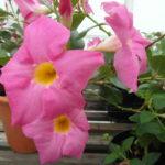 Mandaville Sanderii Pink CloseUp 6315 MandyPlants.com