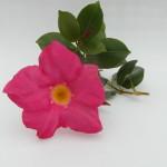 Mandaville Sanderii Pink CloseUp 1 MandyPlants.com