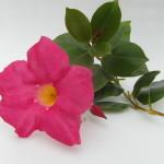 Mandaville Sanderii Pink CloseUp 2 MandyPlants.com