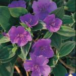 Tibouchina Urvilleana Plant 2 MandyPlants.com