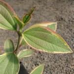 Tibouchina Urvilleana Leaf Detail vari2 MandyPlants.com