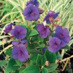 Tibouchina Urvilleana Plant MandyPlants.com