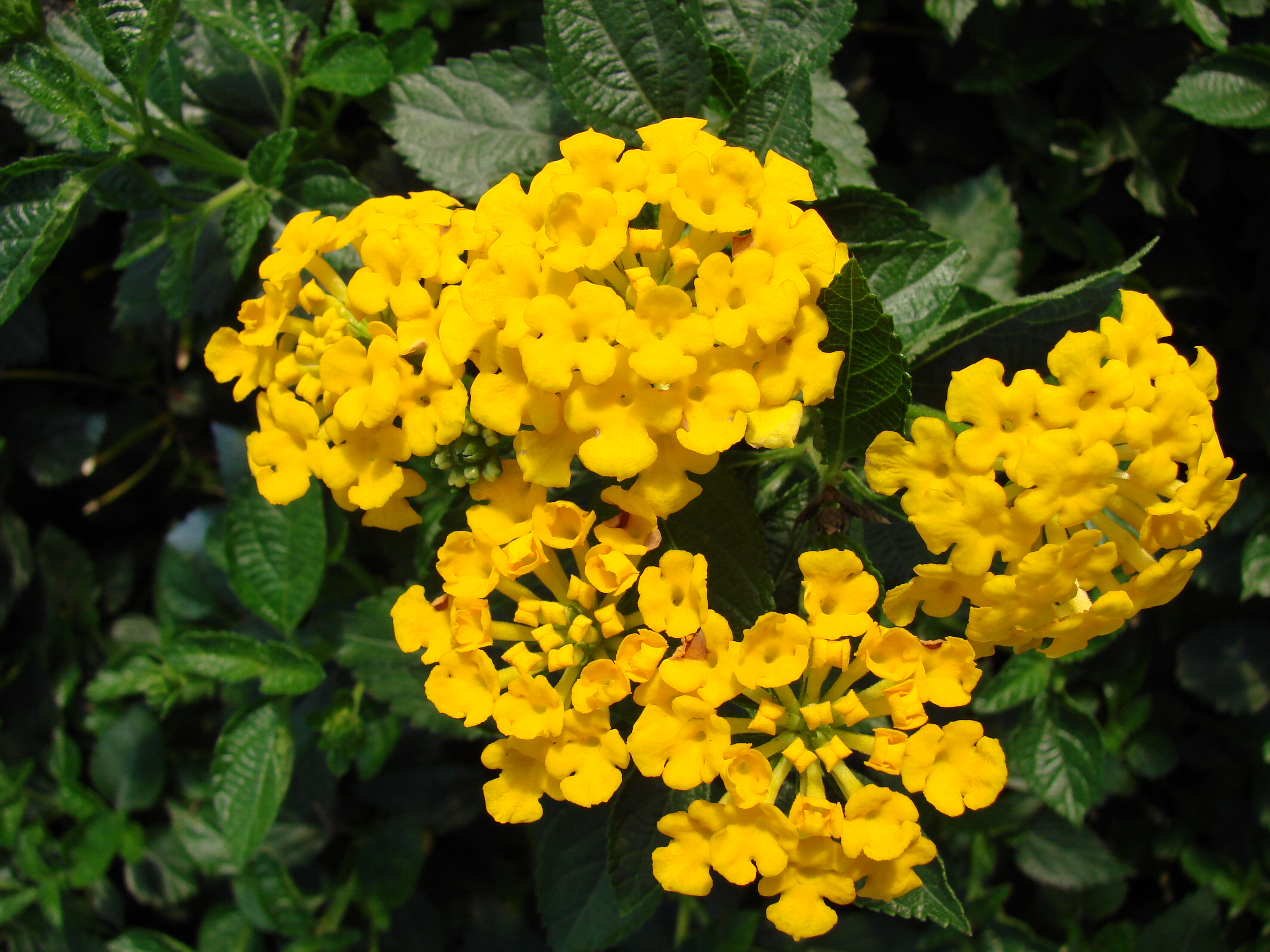 Lantana Chapel Hill Gold MandyPlants.com